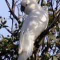 011Sulphur-Crested-Cockatoo.-Cacatua-galerita-copy