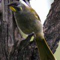 107-Yellow-throated-honeyeater.-Lichenostomus-flavicollis-copy