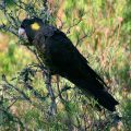 109-Yellow-tailed-Black-Cockatoo-copy