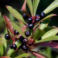 155-Mountain-Pepper-ripe-berries-copy